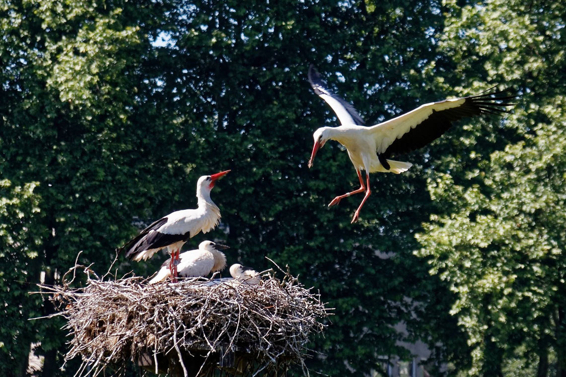 Storch fuetterung c hugo doenges