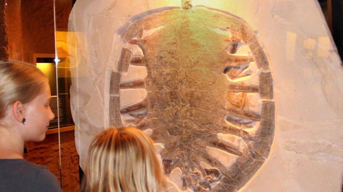 Die versteinerte Riesenschildkröte lebte vor etwa 150 Millionen Jahren, im Urmeer der Oberen Jura-Zeit. Gefunden wurde sie bei Ausgrabungen im fränkischen Wattendorf und ist im Bamberger Naturkundemuseum ausgestellt. Foto: Matthias Mäuser