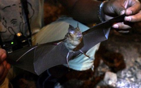 Fledermäuse besitzen ein dichtes, oft seidiges grau bis braunes oder schwares Fell. Bild: Ole Pophal / CC / Flickr