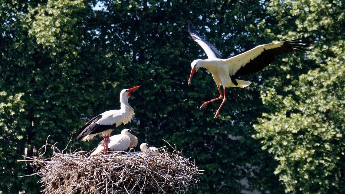Der Weißstorch füttert seine im Mai geschlüpften Jungen mit Insekten. Bild: Hugo Dönges