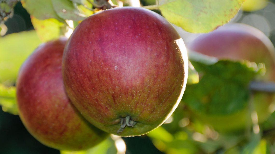 Hessens Apfelwiesen bilden die Grundlage fürs Stöffchen. Bild: Peter Sieling / flickr