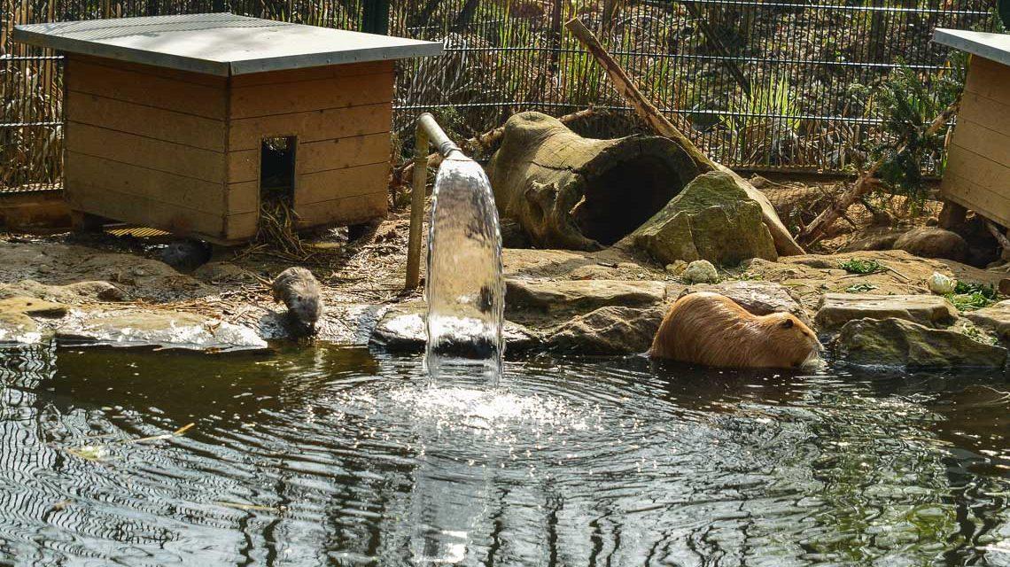 Das Wasser plätschert, ein Platsch dazu – der Fischotter schwimmt durchs Wasser. Bild: Volker Watschounek