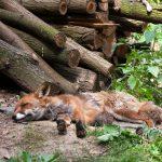 Fuchs in der Wildnis. Bild: 2017, Milestoned, Flickr