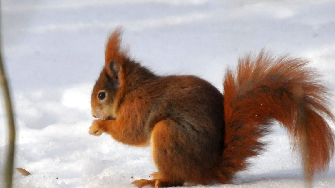 Eichhörnchen im Winter. Bild: ©2017 Bärchen57 / Flickr