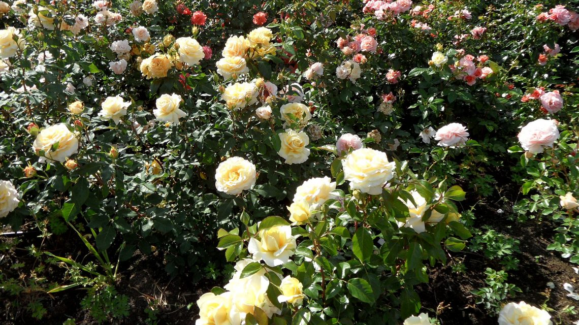 Einweihung des neuen Rosenbeetes am Landesdenkmal. @2017 Ogola / Flickr / CC BY-SA 2.0