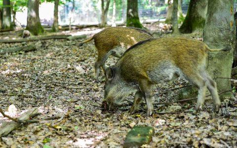 Junge Wildschweine im Tier- und Pflanzenpark Fasanerie. ©2018 Volker Watschounek