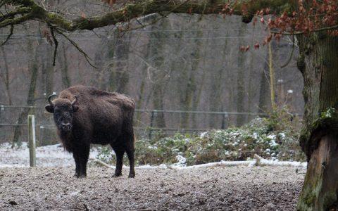Europäischer Wisent im Schnee im Tier- und Pflanzenpark Fasanerie. ©2018 Ralf Brinkmann