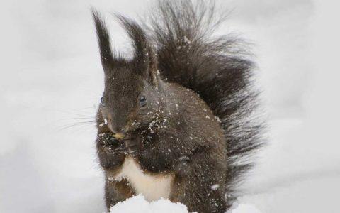 Eichhörnchen auf Nahrungssuche... es wird wieder einfacher. ©2018 Kuhnmi / Frickr / bearbeitet