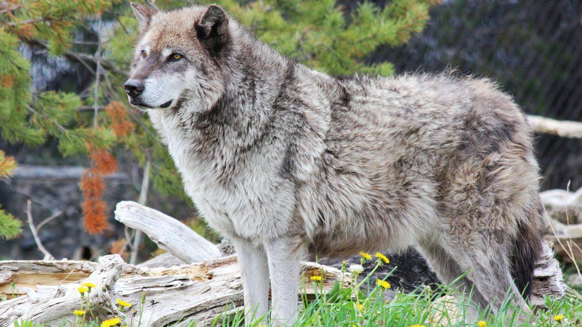 Immer mehr Wölfe in Deutschland, bislang aber kein Rudel in Hessen. ©2018 Michelle-Callahan / Flickr / CC BY 2.0