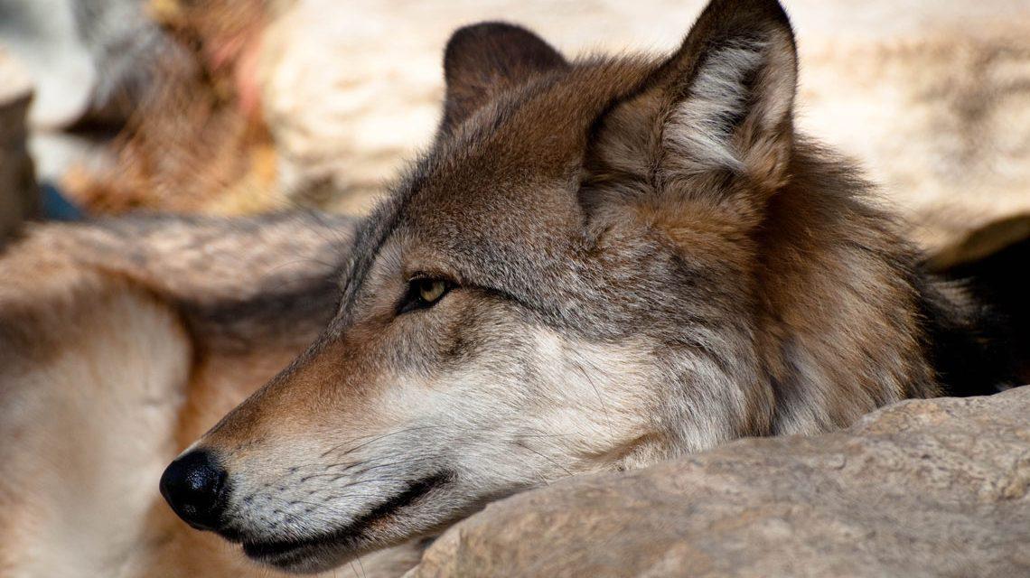 Wolfstag in der Fasanerie. ©2018 Tirica Hall / Flickr /CC BY-SA 2.0
