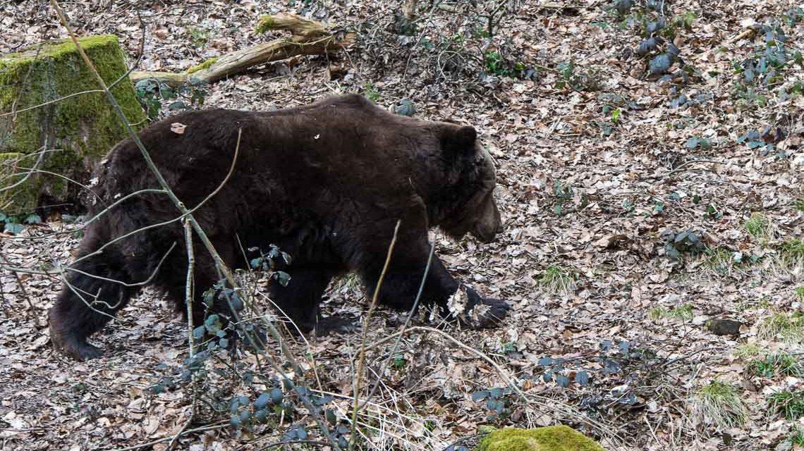 Das Bären-Gehege in der Fasanerie Wiesbaden, immer ein interessanter Beobachtungsposten. ©2018 Volker Watschounek