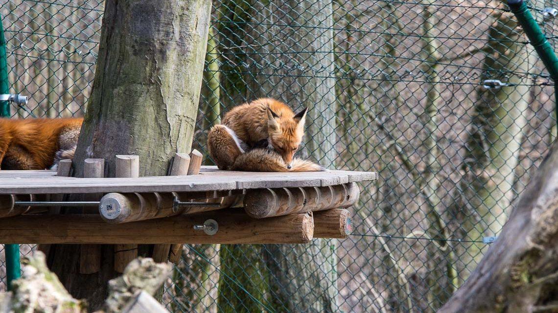 Raubtiere im Tier- und Pflanzenpark Fasanerie. ©2018 Volker Watschounek
