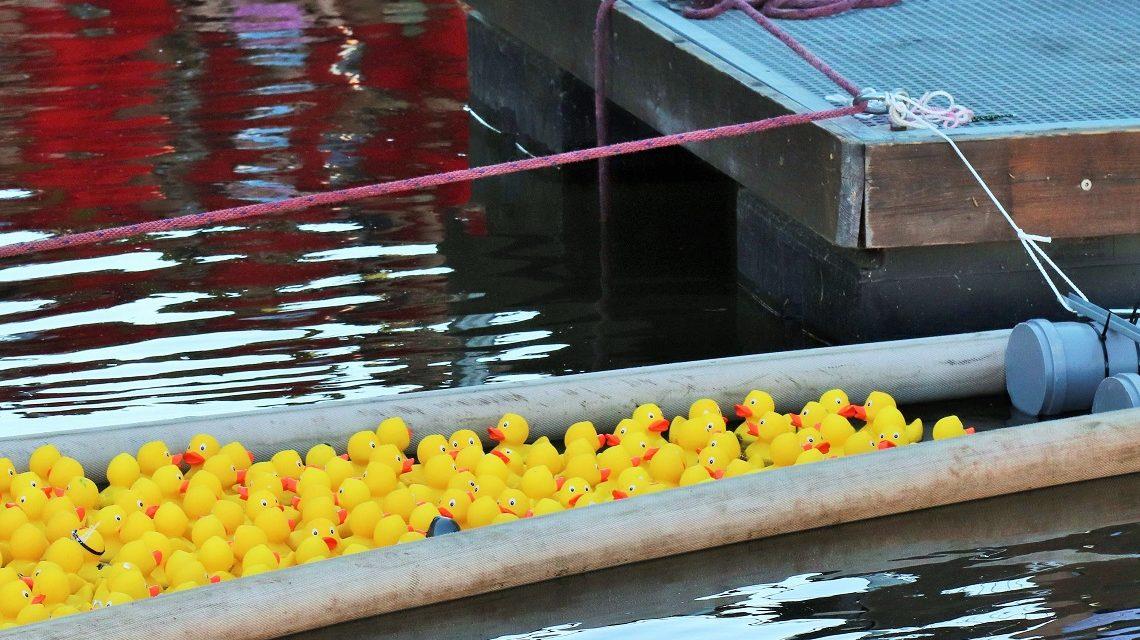 Plastikenten schwimmen um die Wette