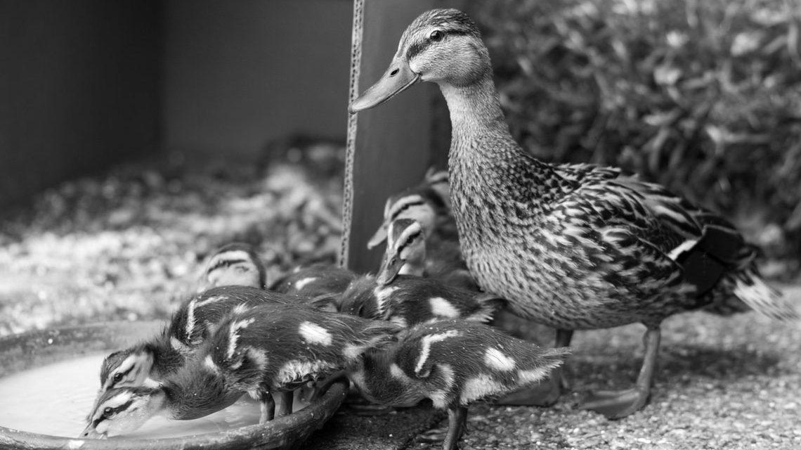 Vögel brauchen Wasser. ©2018 Greg Heartsfield / Flickr / CC BY 2.0