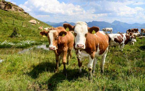 Kühe in den Kitzbühler Alben. ©2018 Volkker Watschounek