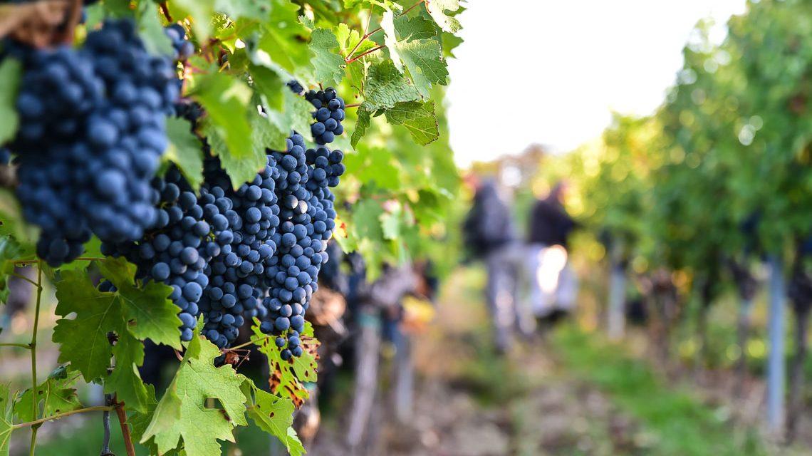 Bilder der Woche – Weinanbau in Wiesbaden Dotzheim, und das seit mehreren hundert Jahren. Im Weinberg... ©2018 Volker Watschounek