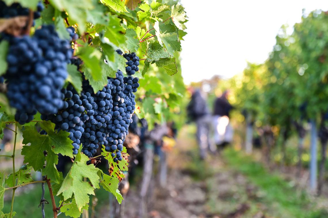 Weinanbau in Wiesbaden Dotzheim, und das seit mehreren hundert Jahren. Im Weinberg... ©2018 Volker Watschounek