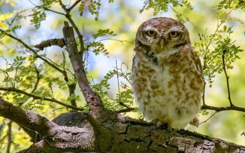 Spotted Owlet von Imran Shah / flickr / CC BY SA 2.0 ©2019